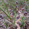 Pterostylis sanguinea<br /> Steiglitz