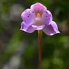 Thelymitra juncifolia<br /> Steiglitz