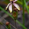Caladenia iridescens<br /> Anglesea