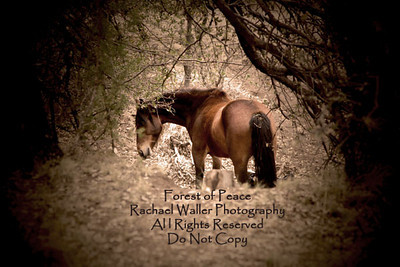 """""""Sitting on the side of the wash I watched her, so at peace, far away from any harm, this is her forest, this is her world and I am grateful to her for sharing it."""" ~In Beauty & Light~ Rachael Waller Photography (featuring """"Miss Thang"""" my 8 year old Mustang)"""
