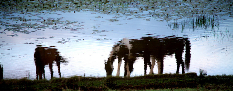 Reflection I (evening by the pond and all I could hear was the sound of crunching green grass and hooves in the water) Rachael Waller Photography