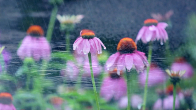 Summer Morning Rain  (music written by Muriel Anderson)