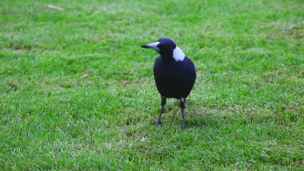 Full HD. Canon 5D Mark II Test. Australian Magpie in out backyard, Brisbane. (Canon 70-200mmF/2.8L, no sound)