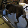 Bella learns to treadmill