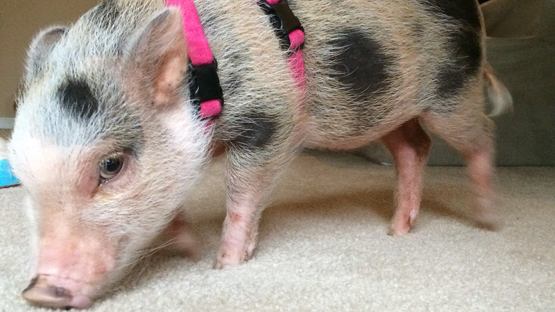 A Couple of Minutes in the Life of Bitsy the Mini Pig