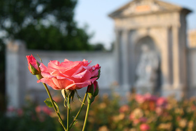 Rose at the Volksgarten.