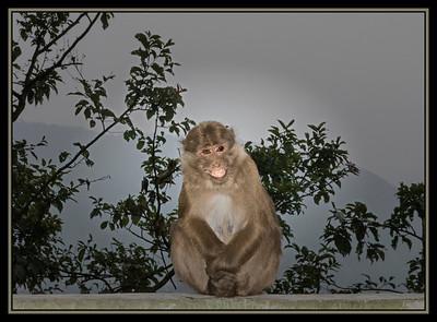 Primate Game Show Host, Gangtok, Sikkim, India.