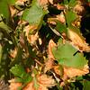 Leaf necrosis.