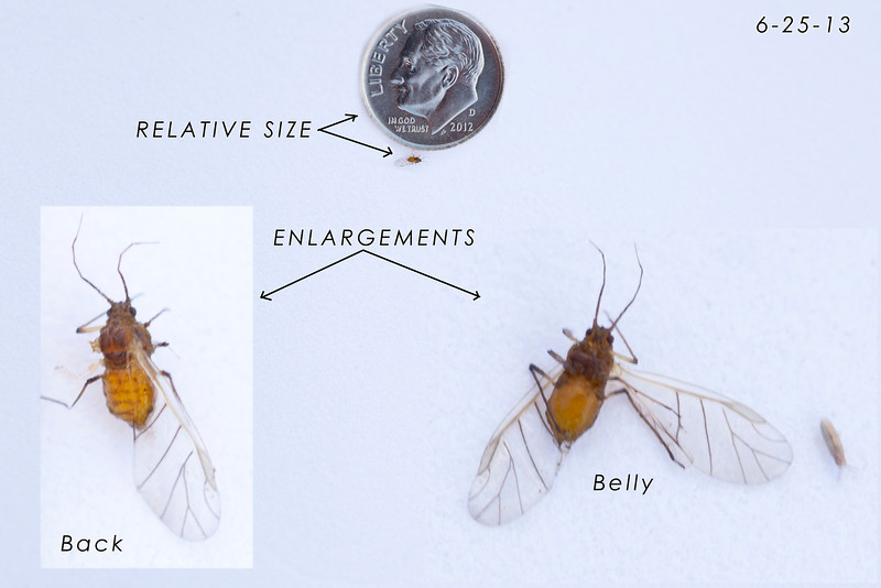 This bug was taken from the infestation shown on the vine in the following photo. The image of the back of the bug (lower left) shows the insect missing its left wing and middle, left leg - casualties of the photographic process.