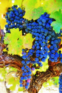Cabernet fruit ready to harvest.