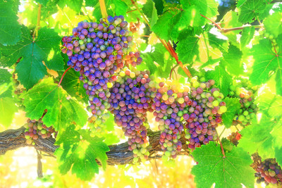 Cabernet Sauvignon grapes going through the veraison process (the onset of ripening) in a vineyard adjacent to the Villagio Inn and Spa in Yountville, CA in July 2013.