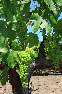 Yountville area grapes on the vine