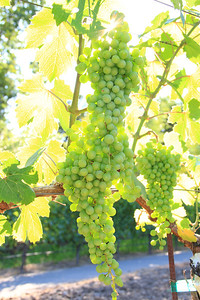 Chardonnay grapes on the vine in Yountville