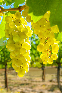 Chardonnay Grape Clusters at Butter Creek Ranch vineyard in fall in the early morning just prior to harvest.
