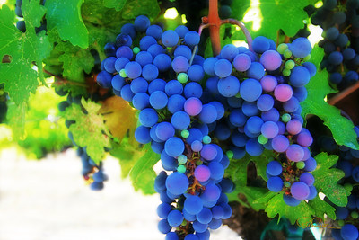 Cabernet fruit ready for harvest.