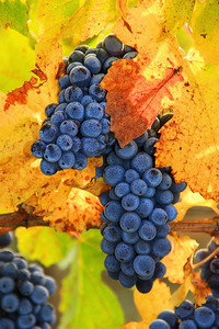 Pinot Grape Cluster at Butter Creek Ranch vineyard in fall.