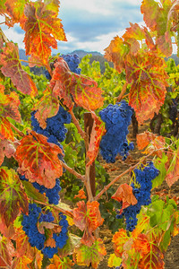 "Yountville area vineyard in fall. An ""Oil Paint"" treatment has been applied to this image. It looks great on a canvas print."