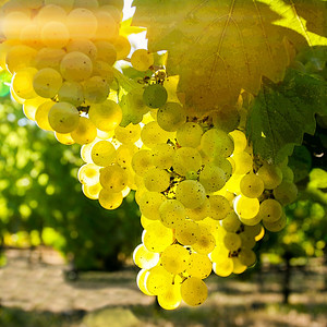 Early morning backlight shows off these Chardonnay grapes at their best at Butter Creek Ranch during harvest 2009.