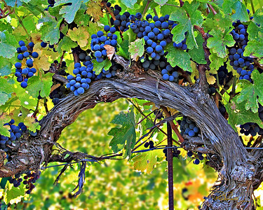 Cabernet fruit on an old vine.