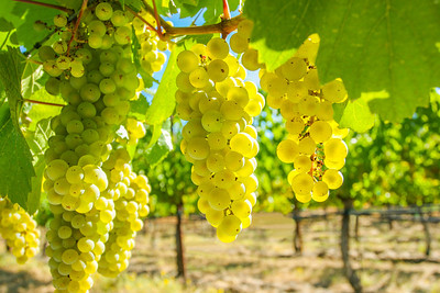 Chardonnay Grape Clusters at Butter Creek Ranch vineyard in fall