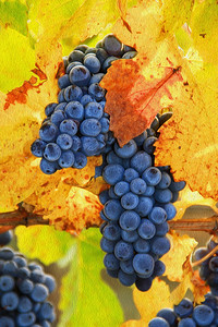 "Pinot Grape Cluster at Butter Creek Ranch vineyard in fall. An ""Oil Paint"" treatment has been applied to this image. It looks great on canvas."