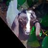 Little goat at Mahoebay.