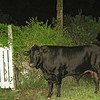 #4. Imagine finding this big, black, BULL on the way to Mineshaft!