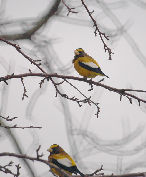 Evening Grosbeaks, Monterey, 26 January 2008