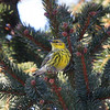 Cape May Warbler, Charlottesville, 9 January 2010