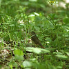 Hermit Thrush, Lantz Mountain, Highland Co., 23 May 2009