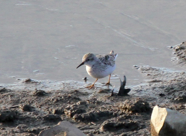 Interesting Least Sandpiper, Lyndhurst, Virginia 30 Nov 2014 (pale gray bird with white outer rectrices)