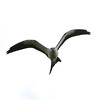 Swallow-tailed Kite, Rockbridge, VA, 26 Aug 2012