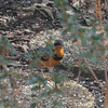 Varied Thrush, Herndon, 20 February 2010