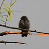 hyper-melanistic swallow (Rough-winged?), Crozet, VA, 8 May 2013