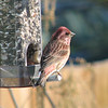 Purple Finch, Charlottesville, 3 November 2007