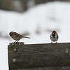 White-crowned and Harris's Sparrows, Rockbridge Co., 1 January 2010