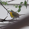 Yellow-breasted Chat, Charlottesville VA, 2 Dec 2014