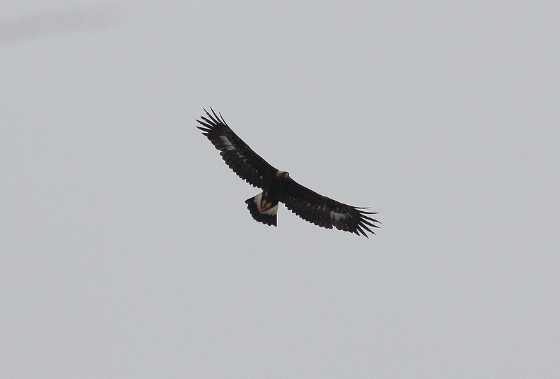 Golden Eagle, Highland Co., 23 January 2010