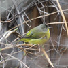 Nashville Warbler, 8 December 2014, Charlottesville, Virginia