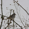 White-crowned Sparrow, Rockbridge Co., 1 January 2010