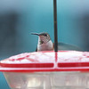 Selasphorus hummingbird, Earlysville, VA 10 December 2010