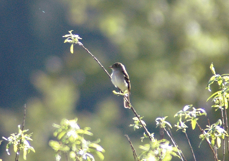 Alder Flycatcher, Straight Fork, Highland Co., 23 May 2009