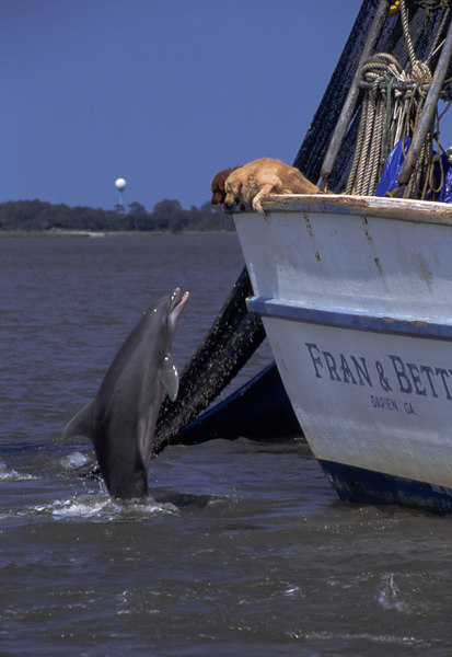 Dolphin in the Golden Isles of Georgia