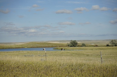 Horses in the distance at a watering hole.  Along this road, there were also buffalo, which have recently been reintroduced to the Reservation because the tribe has preserved some of the indigenous grassland that can sustain the buffalo.