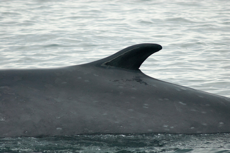 A fin whale shows the dorsal fin for which the species is named and many cookie cutter shark bites during whale watching trip aboard the Voyager out of Redondo Beach Harbor, CA on January 24, 2013. Photo © Bernardo Alps/PHOTOCETUS/All rights reserved.