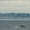 Whale watching trip aboard the Voyager out of Redondo Beach Harbor, CA on January 24, 2013. Photo © Bernardo Alps/PHOTOCETUS/All rights reserved.