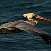 A brown Pelican buzzes the boat during whale watching trip aboard the Voyager out of Redondo Beach Harbor, CA on January 24, 2013. Photo © Bernardo Alps/PHOTOCETUS/All rights reserved.