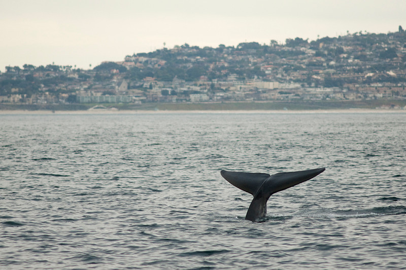 A fin whale flukes during whale watching trip aboard the Voyager out of Redondo Beach Harbor, CA on January 24, 2013. Photo © Bernardo Alps/PHOTOCETUS/All rights reserved.