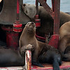 California sea lions crowd onto a bell buoy during whale watching trip aboard the Voyager out of Redondo Beach Harbor, CA on January 24, 2013. Photo © Bernardo Alps/PHOTOCETUS/All rights reserved.