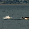 A leucistic Long-beaked common dolphin is seen with a normally pigmented individual during whale watching trip aboard the Voyager out of Redondo Beach Harbor, CA on January 24, 2013. Photo © Bernardo Alps/PHOTOCETUS/All rights reserved.